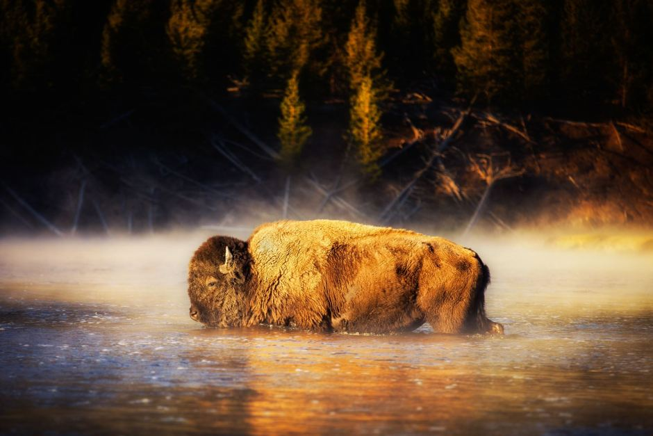 Bison-in-the-River-in-Yellowstone-by-Michael-Matti