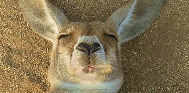 -media-8993-kangaroo-sleeping.CACHE-620x305-crop