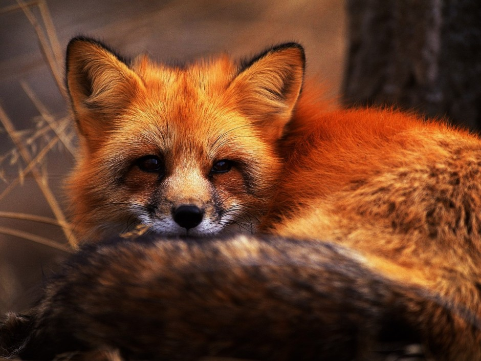 red-fox-red-foxes-13289838-1600-1200 (2)