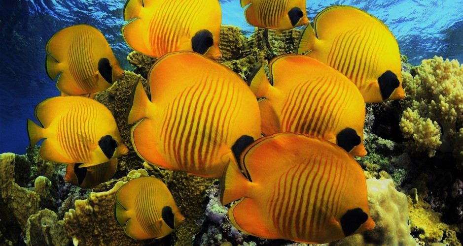 yellow-butterfly-fish-2560x1440 (3)