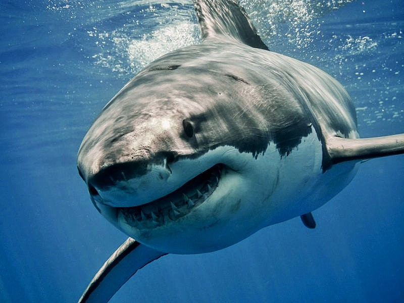 great-white-shark-2